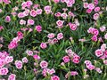 A Spring Floral Display of Pink Dianthus Flowers Royalty Free Stock Photo