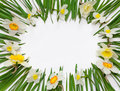 Spring floral frame of flowers and green leaves of Narcissus on white background Royalty Free Stock Photo