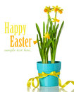 Spring flower arrangement narcissus daffodil blue pot isolated white background Stock Photo
