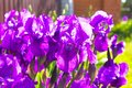 Spring flower background - purple early spring iris flower under Royalty Free Stock Photo