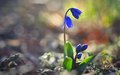 Spring flower this is blue scilla in caucasus forest in Royalty Free Stock Photo