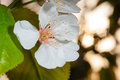 Spring flower on closeup of white of the tree blossoms Stock Photo