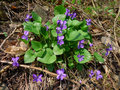 Spring flower early dog violet viola reichenbachiana in forest Stock Image