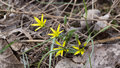 Spring flower Gagea lutea or Yellow Star-of-Bethlehem. Lily family edible medical herb. Eurasian flowering plant Royalty Free Stock Photo