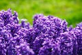Spring flower hyacinth close up Royalty Free Stock Image