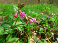 Spring flower lungwort common lungwort our lady s milk drop pulmonaria officinalis Stock Image