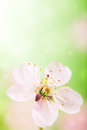 Spring flower over green and pink Royalty Free Stock Photo
