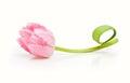 Spring flower pink tulip Royalty Free Stock Photo