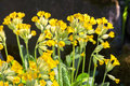 Spring flower primula macrocalyx bunge primulacease Stock Photo