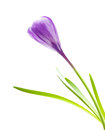 Spring flower purple crocus Royalty Free Stock Photo