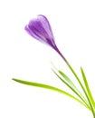 Spring flower purple crocus