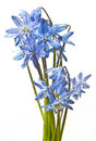 Spring flower - scilla Stock Photo