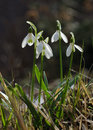 Spring flower snowdrop Royalty Free Stock Photos