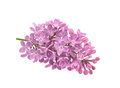 Spring flower, twig purple lilac. Syringa vulgaris. Royalty Free Stock Photo