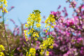 Spring flower of wildlife nature yellow flowers and purple flowering trees on background Stock Photography