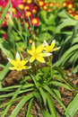 Spring flowerbed with flowering late Tulip lat. Tulip dasystemon tarda Stapf on the background of red flowers Primula vulgaris