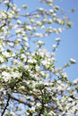 Spring flowering apple tree in the garden Royalty Free Stock Photo