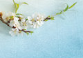Spring flowering branch on blue paper. Royalty Free Stock Photo