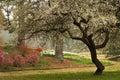 Spring Flowering Dogwood South...
