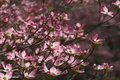 Spring Flowering Pink Dogwood Blossoms Stock Photos