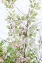 Spring flowering trees bloom pink flowers Royalty Free Stock Photo