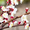Spring flowering trees. Pollination of flowers of apricot. Bloom Royalty Free Stock Photo
