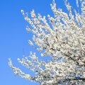 Spring flowering trees. Pollination of flowers of plum. Blooming Royalty Free Stock Photo
