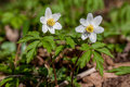Spring flowers anemone on the river bank anemones Royalty Free Stock Photo