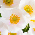 Spring flowers of anemone sylvestris snowdrop anemone abstract background closeup Royalty Free Stock Photography