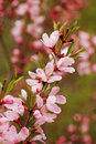 Spring flowers on apple tree branches Stock Photo