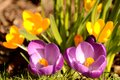 Spring flowers arriving as the enjoy the english sun the crocus sativus Stock Image