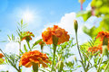 Spring flowers on a background of blue sky with clouds and sun Royalty Free Stock Photography