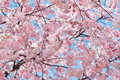 Spring flowers background with pink blossom on blue sky Stock Photography