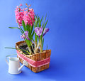 Spring flowers in basket and white watering can pink hyacinth crocus on blue background Royalty Free Stock Photography