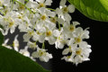 Spring flowers bird cherry trees blossoms in the garden close up Royalty Free Stock Image