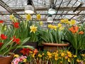 Spring flowers in brown pots in a greenhouse with bright lamps.