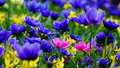 Spring flowers : a carpet of blue annemonae with pink and yellow  accents Royalty Free Stock Photo