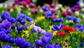 Spring flowers : a carpet of blue annemonae with red, white, yellow and purple accents Royalty Free Stock Photo