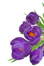 Spring Flowers Crocus Royalty Free Stock Photo