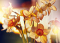 Spring flowers daffodils in the golden sunlight Royalty Free Stock Photo
