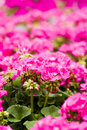Spring flowers on display at local nursery Stock Photography