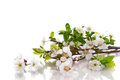 Spring flowers of fruit trees on a white background Royalty Free Stock Image