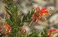 Spring flowers Grevillea australian native plant Stock Photography