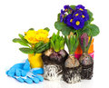 Spring flowers hyacinth and primula on white Royalty Free Stock Image
