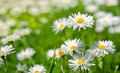 Spring flowers marguerites in a grean meadow Stock Photo