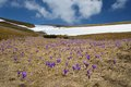 Spring flowers on the meadow flowering and last snow mountain landscape with of crocus carpathians ukraine Royalty Free Stock Photos