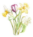 Spring flowers narcissus and tulip isolated on white background. Watercolor hand drawn illustration.