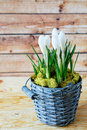 Spring flowers in an old bucket crocus Stock Photo