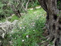 Spring flowers among olive tress delicate on a mountain slope in the old trees and rocks Stock Photos