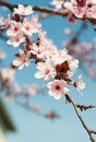 Spring flowers pink peach blossoming Stock Photography